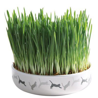 Catnip/ Kattgräs